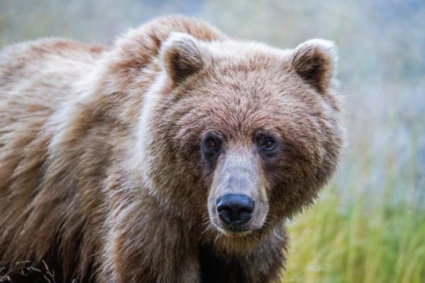 Wall Art - Photograph - Grizzly Bear  Ursus Arctos Horribilis by Robert Postma
