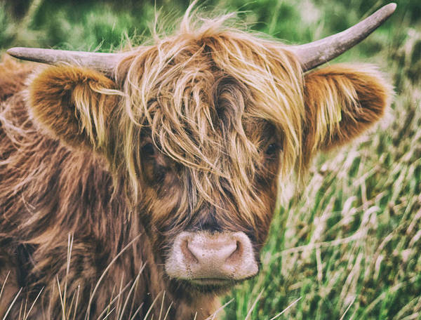 Wall Art - Photograph - Highland Cow by Martin Newman