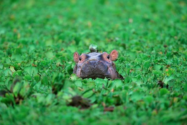Wall Art - Photograph - Hippopotamus Hippopotamus Amphibius by Art Wolfe