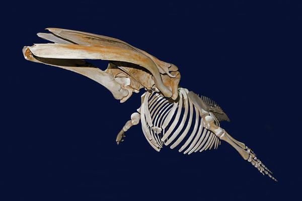 Wall Art - Photograph - Humpback Whale Skeleton by Millard H. Sharp