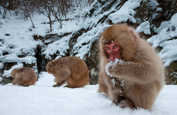 Snow Monkey Photograph - Japanese Macaques, Japanese Alps by Mint Images/ Art Wolfe