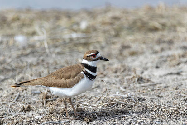 Photograph - Killdeer by Michael Chatt