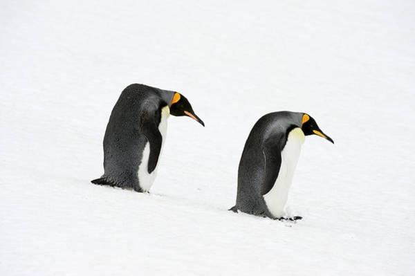 Georgia Photograph - King Penguins Aptenodytes Patagonicus by Ben Cranke