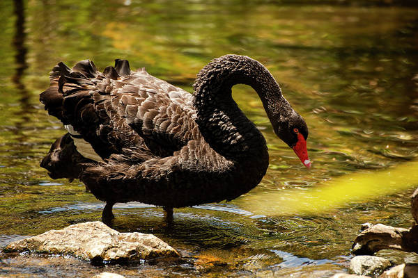 Photograph - Large Black Swan. by Rob D Imagery