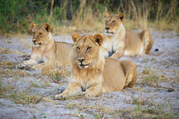 Photograph - 3 Lions by John Rodrigues