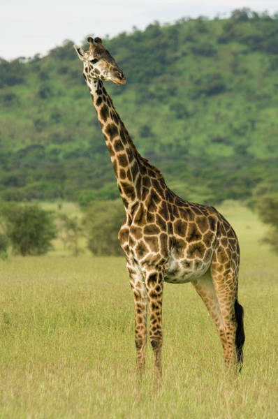 Long Neck Photograph - Maasai Giraffe Giraffa Camelopardalis by Ariadne Van Zandbergen