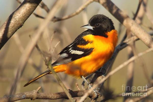 Wall Art - Photograph - Male Baltimore Oriole Northern Race In Spring by J McCombie