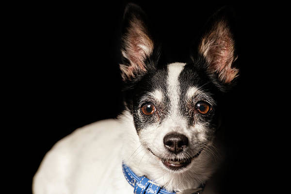 Photograph - Miniature Fox Terrier by Rob D Imagery