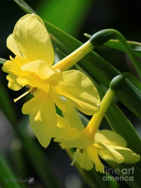 Wall Art - Photograph - Miniature Split Corona Daffodil Named Tripartite by J McCombie