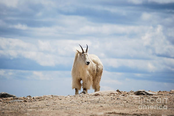 Photograph - Mountain Goat  by Steven Liveoak