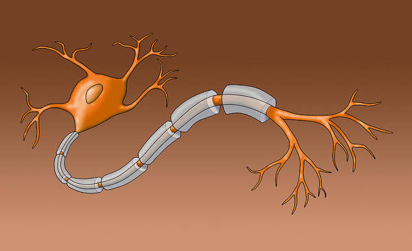 Wall Art - Photograph - Neuron With Healthy Myelin Sheath by Monica Schroeder