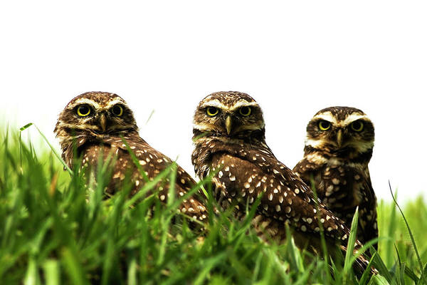 Brazil Photograph - 3 Owls by Tatianasapateiro Sp Brazil