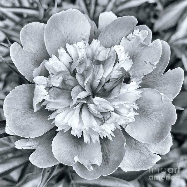 Wall Art - Photograph - Peony  by HD Connelly