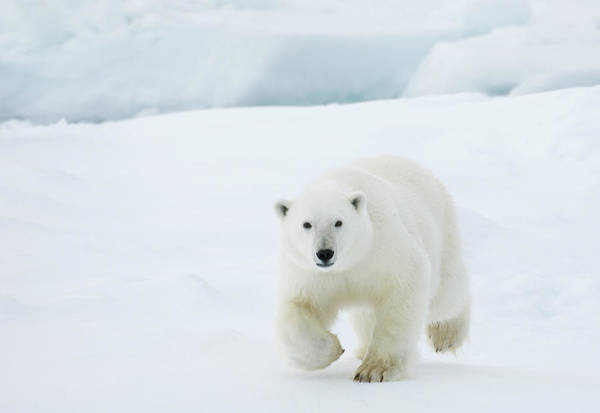 Hunting Island Wall Art - Photograph - Polar Bear by Dagsjo