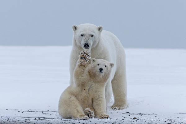 Born In The Usa Photograph - Polar Bear by Sylvain Cordier
