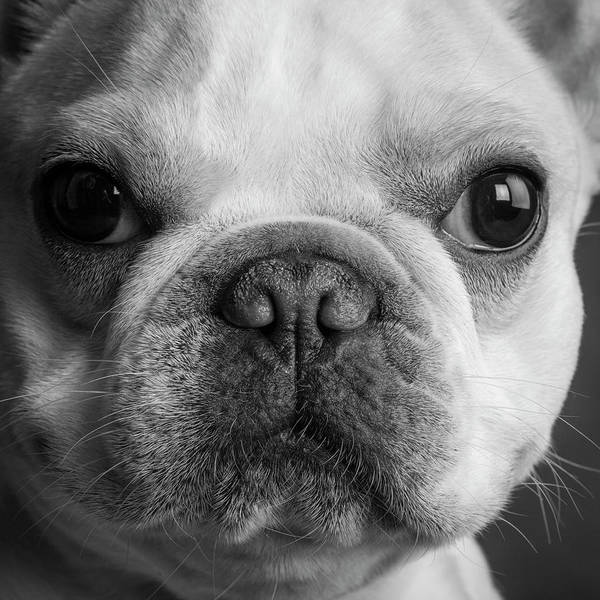 Wall Art - Photograph - Portrait Of A French Bulldog by Panoramic Images