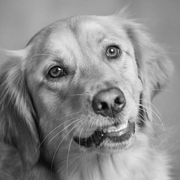 Wall Art - Photograph - Portrait Of A Golden Retriever Dog by Panoramic Images