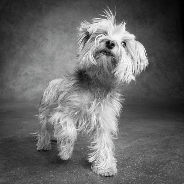 Wall Art - Photograph - Portrait Of A Yorkie Dog by Panoramic Images