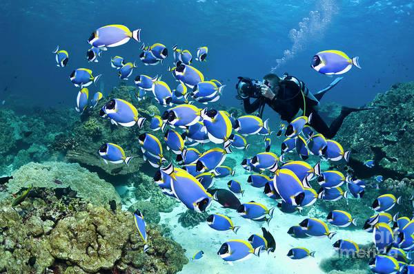 Underwater Camera Photograph - Powderblue Surgeonfish by Georgette Douwma