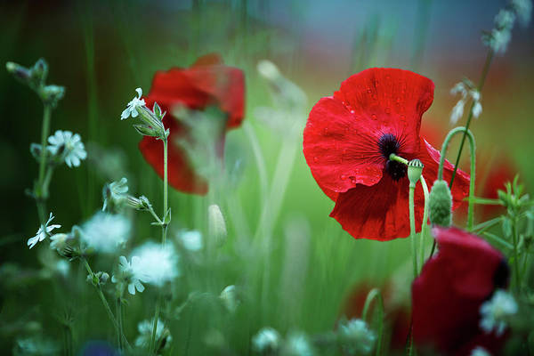 Dreamy Wall Art - Photograph - Red Corn Poppy Flowers by Nailia Schwarz
