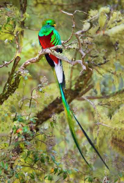 Quetzals Photograph - Resplendent Quetzal Pharomachrus by Panoramic Images