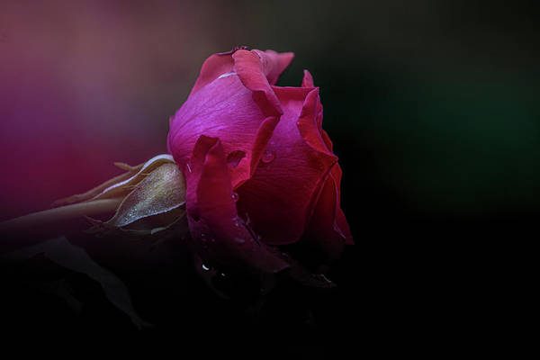 Photograph - Rose Of Summer by Allin Sorenson
