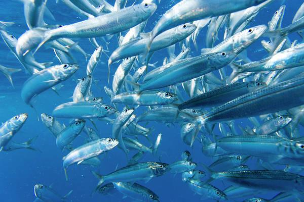 Schooling Fish Wall Art - Photograph - Sailfish Feeding On Brazilian Sardines by Stuart Westmorland