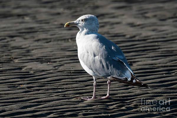 Photograph - Seagull On Beach by Michael D Miller
