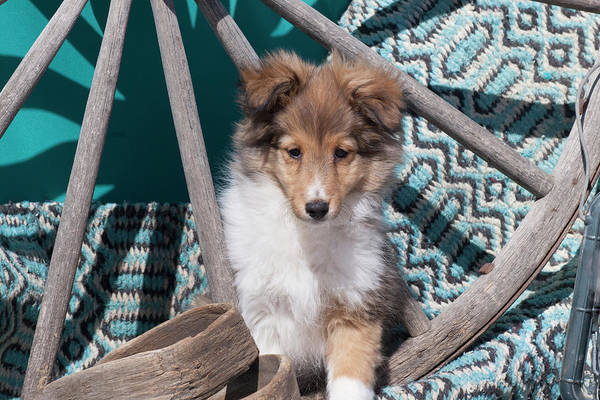 Wall Art - Photograph - Shetland Sheepdog Puppy by Zandria Muench Beraldo