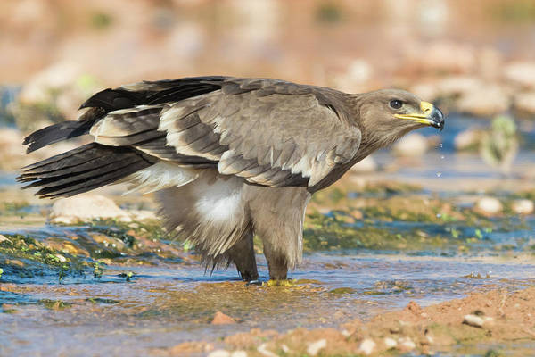 Wall Art - Photograph - Steppe Eagle Aquila Nipalensis Orientalis Juvenile Drinking In A Creek Dhofar Oman by imageBROKER - Saverio Gatto