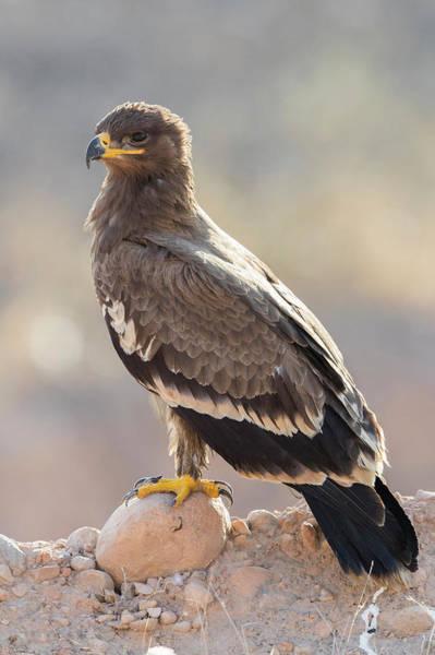 Wall Art - Photograph - Steppe Eagle Aquila Nipalensis Orientalis Juvenile Standing On Stone Dhofar Oman by imageBROKER - Saverio Gatto