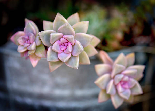 Photograph - 3 Succulents by John Rodrigues