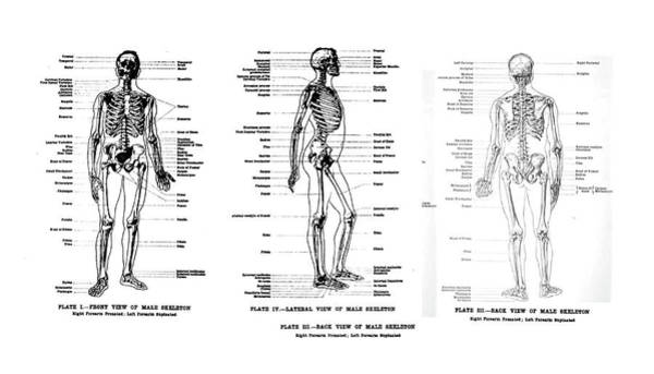 Photograph - 3 Views Of The Human Skeleton, Full Frontal , Lateral And Rear,  by Steve Estvanik