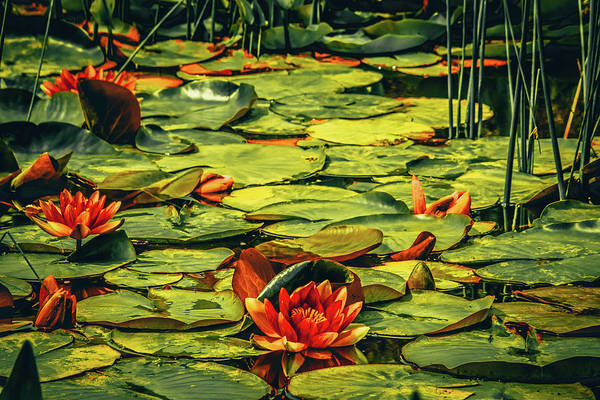 Wall Art - Photograph - Water Lilies by Bonnie Bruno