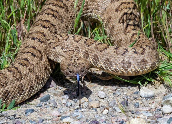 Photograph - Western Rattlesnake by Michael Chatt