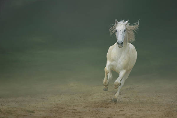 Dust Photograph - White Horse Galloping by Christiana Stawski