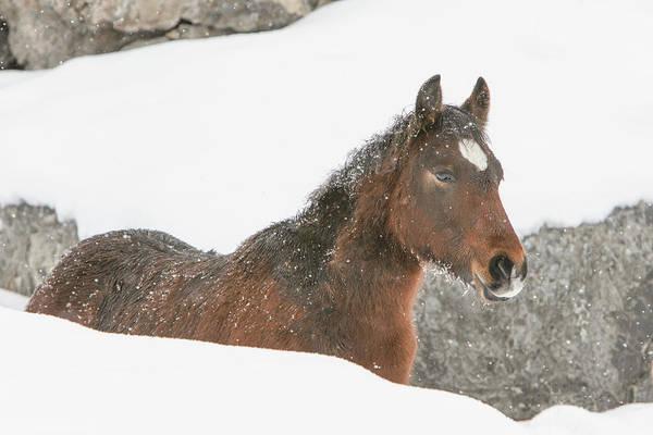 Photograph - Winter Foal by Kent Keller