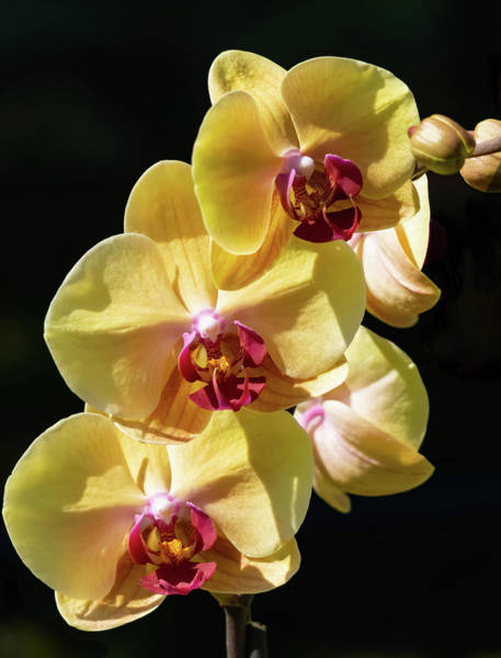 Photograph - 3 Yellow Orchids by Silvia Marcoschamer