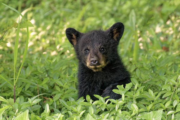Young Black Bear Cub, Ursus Americanus Art Print by Adam Jones