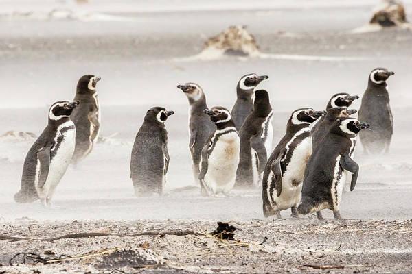 Wall Art - Photograph - Falkland Islands, Sea Lion Island by Jaynes Gallery