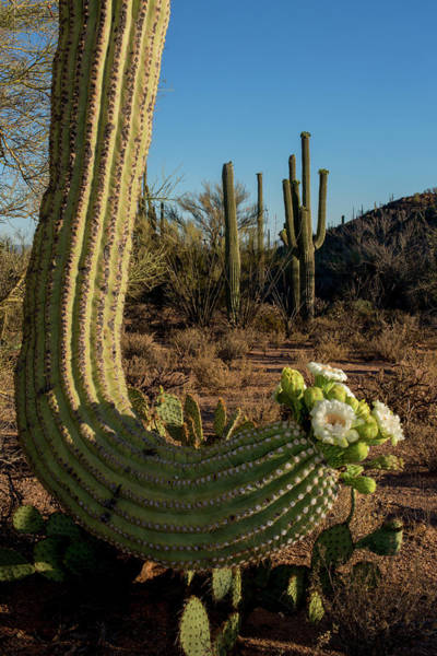 Wall Art - Photograph - Usa, Arizona, Tucson, Saguaro National by Peter Hawkins