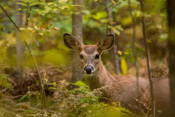 Wall Art - Photograph - White-tailed Deer by Linda Arndt