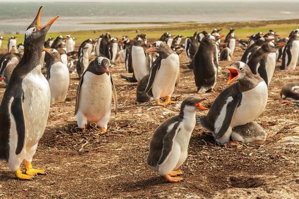 Wall Art - Photograph - Falkland Islands, Bleaker Island by Jaynes Gallery