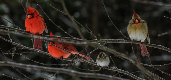 Photograph - 3cardinals And A Sparrow by John Harding