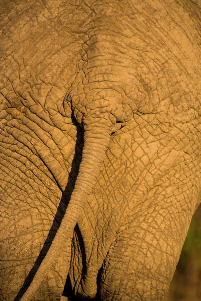 Wall Art - Photograph - African Elephant, Sabi Sand Reserve by Stuart Westmorland