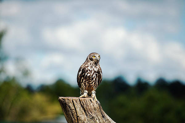 Photograph - Barking Owl by Rob D Imagery