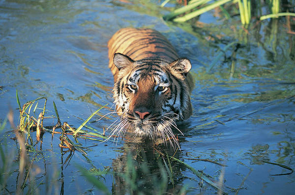 Urban Wildlife Photograph - Bengal Tiger by Tom Brakefield