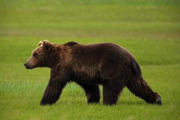 Wall Art - Photograph - Brown Bears, Katmai National Park by Mint Images/ Art Wolfe