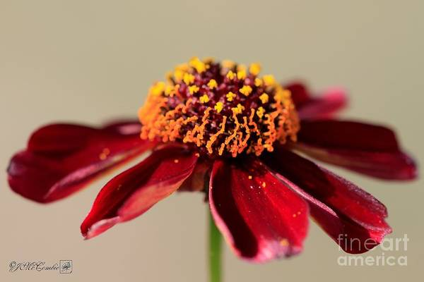 Wall Art - Photograph - Burnished Red Coreopsis From The Incredible Mix by J McCombie