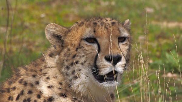 Photograph - Cheetah Close Up by Eye to Eye Xperience